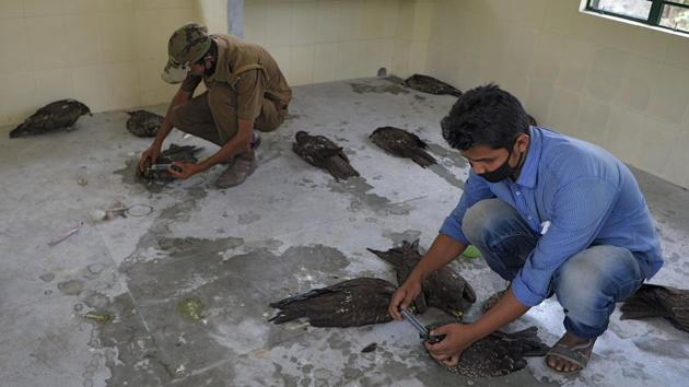 Veterinary doctors treat sick black kites at Bengal Safari veterinary hospital in Siliguri after around 50 birds were found dead overnight and several others were found in a sick condition.(AFP)