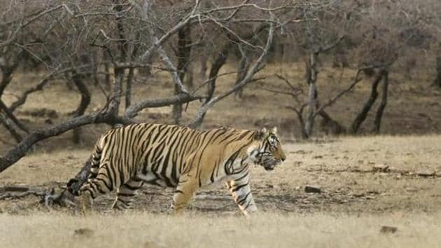 RT-91 alias Mirza has spent almost six days in the 24-hectare enclosure in MHTR.(HT FILE)