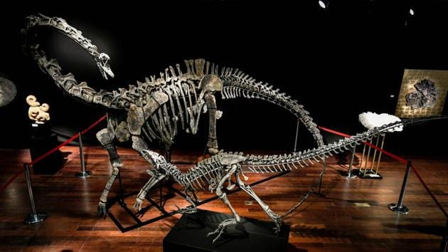 The skeletons two Jurassic age (161-145 million years) dinosaurs, a Diplodocus (back) and an Allosaurus (front), before being auctioned on April 11 at the Drouot auction house in Paris.(AFP)