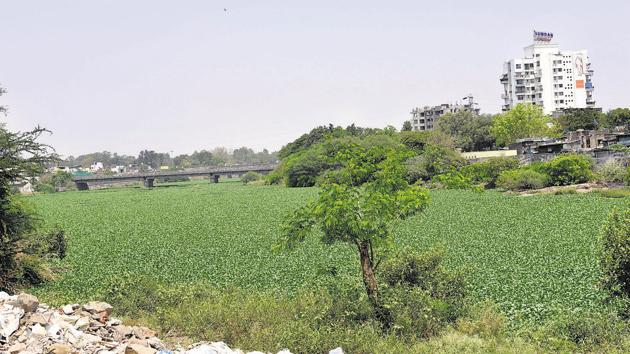 Residents furious as uncontrolled growth of water hyacinth on the Mula river is becoming a breeding spot for mosquitoes in Mamtanagar, Sanghvi area in Pune.(HT PHOTO)