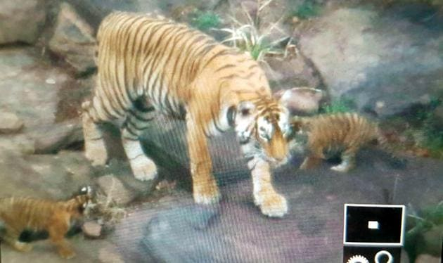 Ranthambore tigress T-92 with her cubs at Keladevi sanctuary in Karauli, which is part of the Ranthambhore Tiger Reserve.(HT Photo)