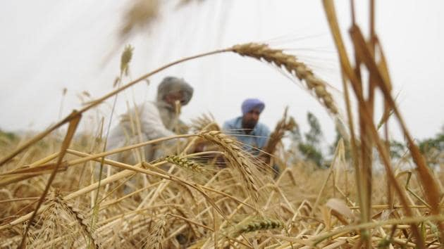 Some damage was reported to the harvested wheat in grain markets of Jalandhar.(HT File)