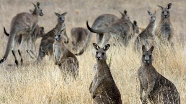 """""""Kangaroos can occasionally be aggressive no matter what the circumstances are, but 90% of the time it's the people who are trying to feed them who are attacked,"""" said a travel operator.(REUTERS)"""