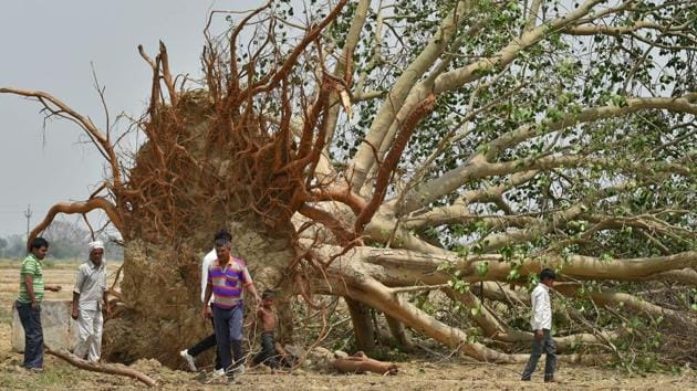 A tree uprooted in the Wednesday's dust storm in Agra district .(PTI)