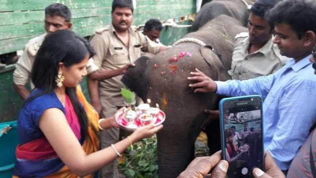 New elephants being greeted at Dudhwa National Park.(HT Photo)