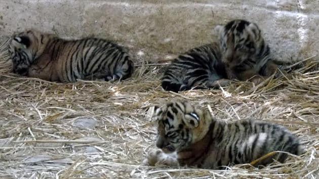 Tiger cubs born at Bhagwan Birsa Biological Park in Ranchi on Sunday.(HT Photo)