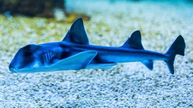 """""""Sharks are generally underestimated when it comes to learning abilities - most people see them as mindless, instinctive animals,"""" Vila-Pouca said. """"However, they have really big brains and are obviously much smarter than we give them credit for,"""" says Catarina Vila-Pouca, lead author of the study.(Shutterstock)"""