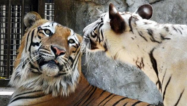 A White Bengal Tiger and Tigress have been kept together for a breeding programme in the Delhi Zoo.(Arvind Yadav/HT PHOTO)
