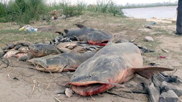 Dead fishes taken out from Beas river after molasses from a sugar factory leaked into the river on Thursday.(HT Photo)