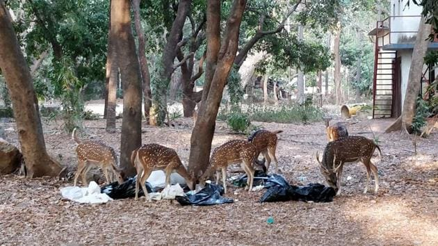 On May 12, a herd of deer spotted the garbage bags near the SGNP office and started feeding on it.(HT Photo)