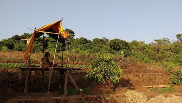 Tapendra Thapa, 16, watches over the mango trees, from within a shelter he made himself. This is his first time in the Konkan, but many of the Nepali mango protectors have been coming here for years, speak fluent Marathi, and now make the journey on private services that have begun to ply between a border village in UP and the Konkan region.(Reetika Revathy Subramanian)
