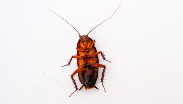 It may seem like cockroach milk has its benefits, but is it the most nutritious option? (Shutterstock)