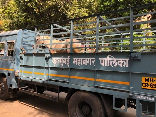 The two horses were transported to BMC's cattle pound in Malad for medical examination and immediate veterinary care.(Photo courtesy: PETA)