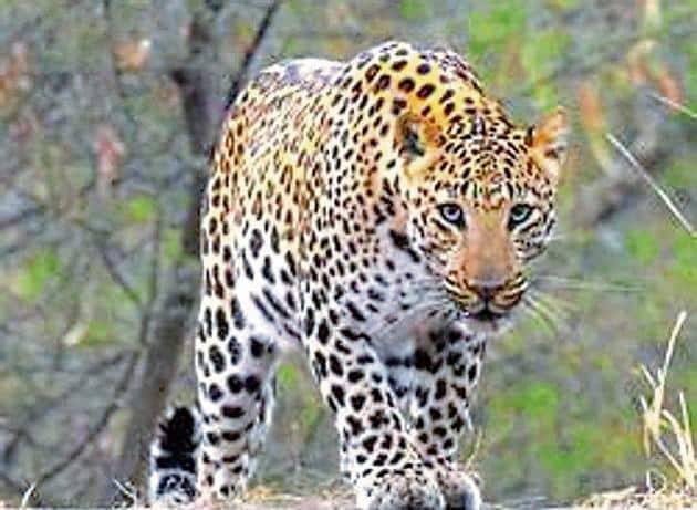 The skin are of four adult leopards and one of a cub.(HT Photo)