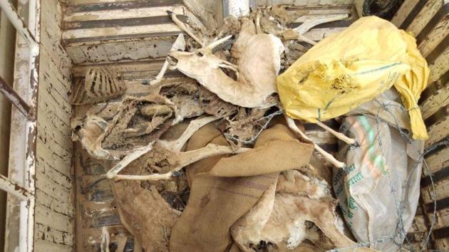The carcass of chinkara found in Jaisalmer.(HT Photo)