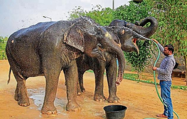 The forest department took suo motu cognisance after an older elephant, Champa, allegedly kept illegally by Sharma, died of septicaemia in the first week of May.(File/PTI)