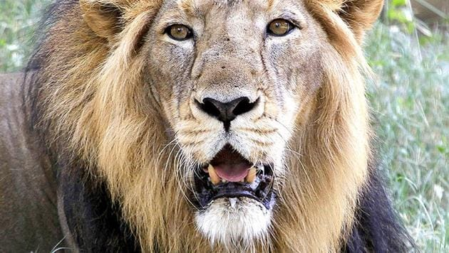 As many as 523 lions were detected at the Gir National Park and Sanctuary in the 2015 census.(AP File Photo)
