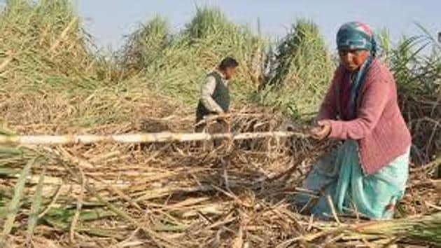 The private mills had stopped paying the farmers soon after the Union government made an announcement of providing Rs 5.5 per quintal relief on sugarcane sold to the mills.(HT File)