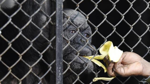 Chimpanzee Rita, 58, during her birthday celebration at an enclosure at Delhi zoo in New Delhi on December 14, 2017.(Arvind Yadav/HT Photo)