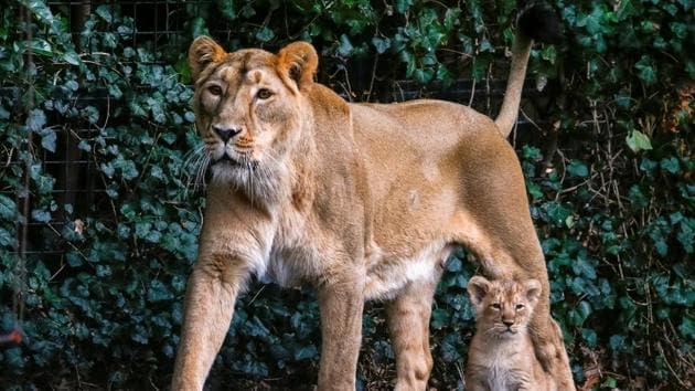 A female Asian lion is seen next to a cubs in the Planckendael zoo in Mechelen, Belgium March 30, 2016.(REUTERS File Photo)
