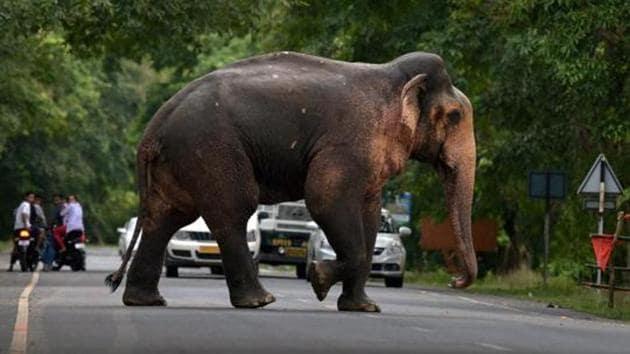 A wild elephant crosses a road near Kaziranga National Park in Assam.(PTI File Photo/Representative image)