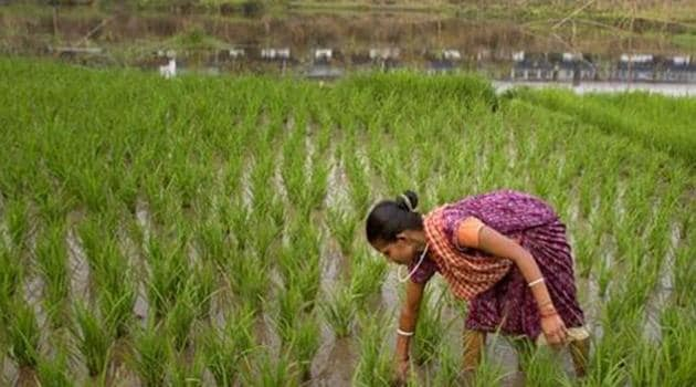 MSPs for kharif season are usually announced within the first two weeks of June. Analysts say lack of timely knowledge of support prices could hamper crop choices of farmers, leading to potential losses in income.(AP/Picture for representation)