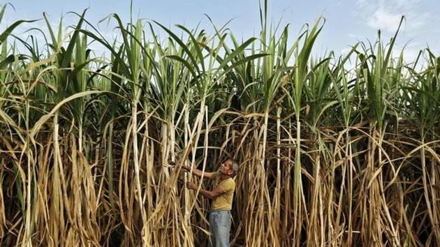 A farmer works in his sugarcane field on the outskirts of Ahmedabad, Gujarat.(Reuters File)