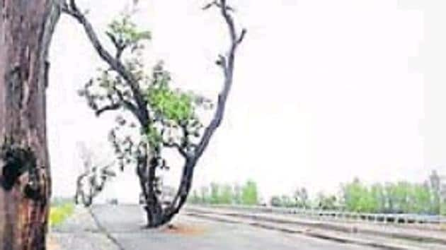 The mango tree in the middle of Sitapur-Bareilly National Highway.(HT Photo)