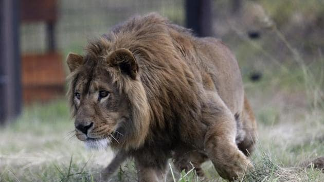 The Sibuya Game Reserve's wildlife veterinarian darted the lions so that forensic investigators could search for evidence to determine what happened.(AP File Photo/Representative image)