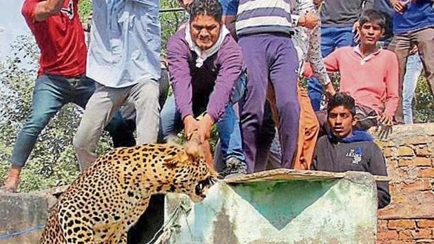 People attack a leopard that had entered a residential area in Mandawar village near Gurgaon in 2016.(HT File Photo)