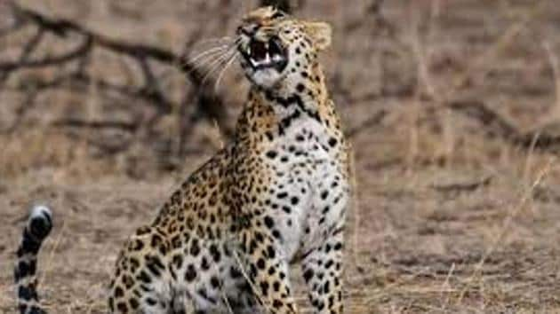 """In India leopard trade can procure between Rs 5 lakh to Rs 10 lakh while, it can fetch triple that amount in the international market.""""(A Representative Image)"""