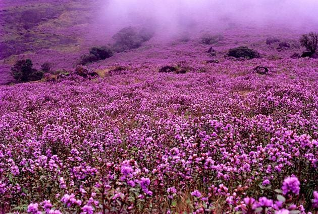 Best time to visit Kerala: The rare neelakurinji flower blooms once every 12 years in Munnar.(Kerala Tourism)