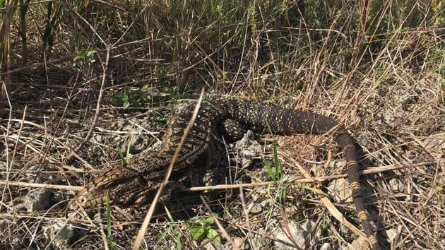 A black and white Tegu lizard is shown in the Florida Everglades in this photo obtained August 2, 2018.(REUTERS)