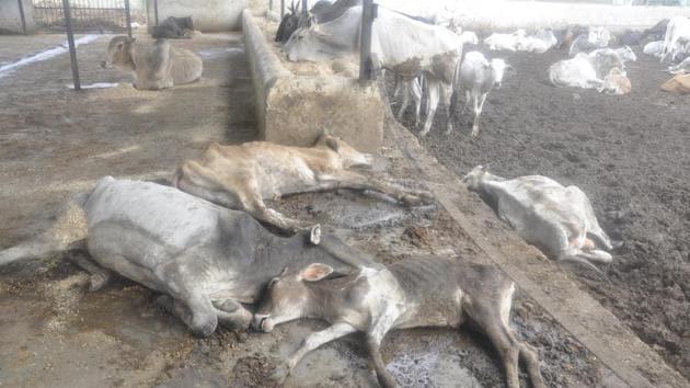 The cows at Bharatpur transit camp.(HT Photo)