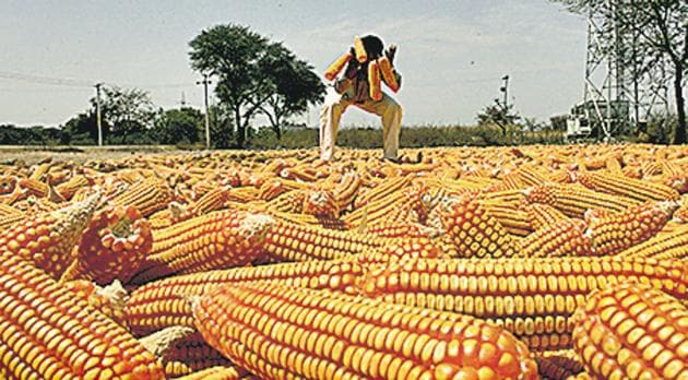 India produces more than 20 million tonnes of maize every year, with the highest area under cultivation in Karnataka.(For representation)