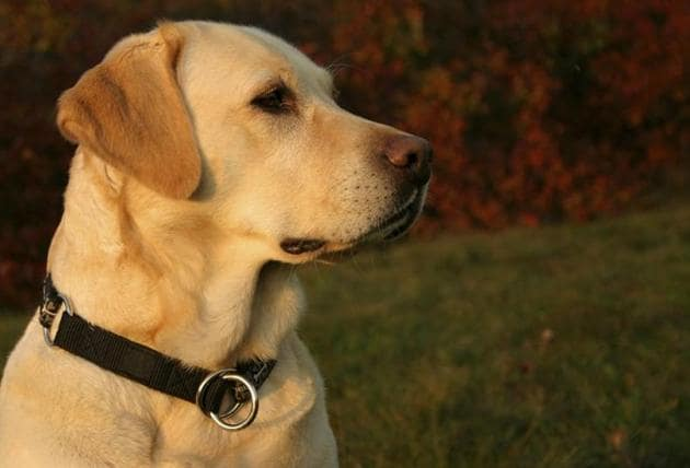 The complainant, Rashmi Sharma, stated that her six-year-old daughter Peehu had become ill as she was unable to meet her dog. She said her daughter will recover if she is reunited with the dog.(Representative image)