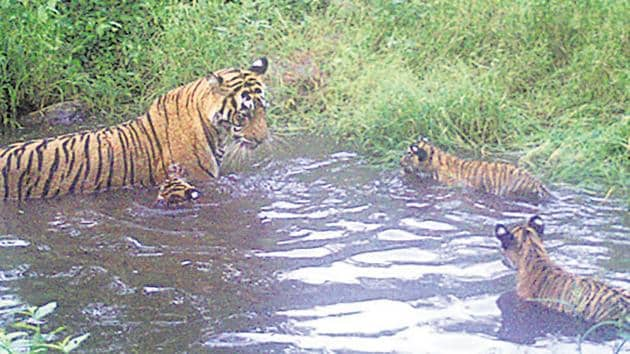 Sariska Tiger Reserve's chief conservator of forest said ST12 was captured on a camera trap with her three cubs in the Talvriksh forest range.(Photo Credit: Rajasthan forest department)