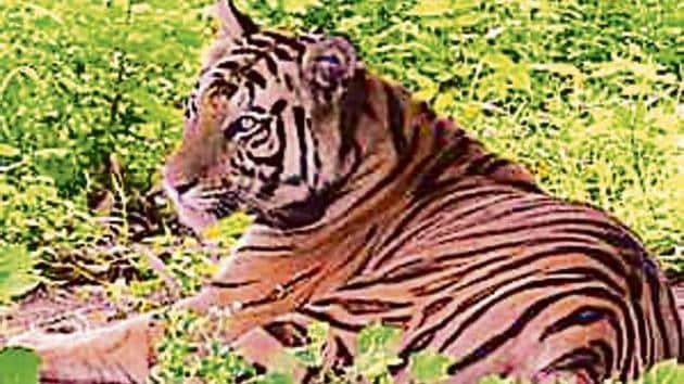 Sundari was brought from Madhya Pradesh's Bandhavgarh reserve.(HT Photo)