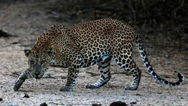 It was the fifth leopard attack in the area since May.(Picture for representation)