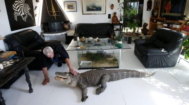 <p>67-year-old Philippe Gillet feeds chicken to his alligator Ali in his living room in Coueron near Nantes, France. Gillet said his two alligators, named Ali...