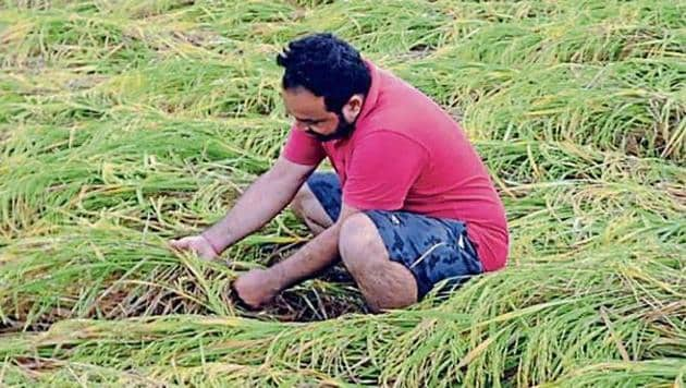 The district agriculture department has claimed that the paddy crop is worst affected at Patran and Samana blocks.(HT Photo)