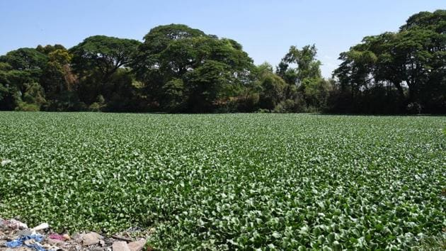 Earlier this year, after the failure of the contractor to remove water hyacinth from rivers, PCMC commissioner Shravan Hardikar decided not to appoint any contractor to clean rivers in the future.(HT FILE PHOTO)