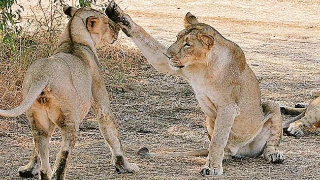 Gujarat state forest minister Ganpat Vasava on Tuesday said four of the 23 lions had died because of canine distemper virus (CDV) and reports on the remaining deaths were awaited.(AFP Photo)