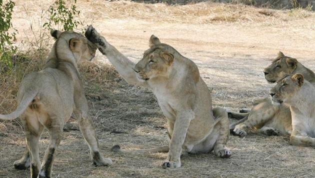 Asiatic Lions (Panthera leo persica) near the village of Sasan on the edge of Gir National Park. The ICMR, the apex body in India for the formulation, coordination and promotion of biomedical research, has found that Canine Distemper Virus (CDV) was responsible for the death of five Asiatic lions in Gir forest .(Representative Image/AFP File Photo)