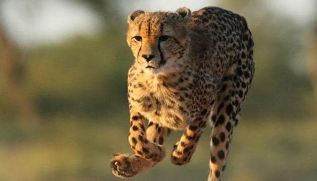 An adult Cheetah on the run at the Kruger National Park.(Getty Images/iStockphoto (Reprsentational Photo))