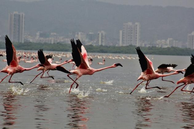 The number of flamingos decreases at Thane creek due to illegal dumping.(HT Photo)