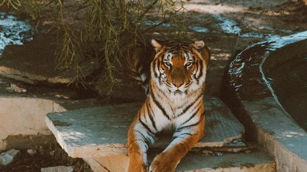 Indian rangers hunting a man-eating tiger are considering deploying an unusual weapon to lure the big cat -- Calvin Klein cologne(Representative Image)