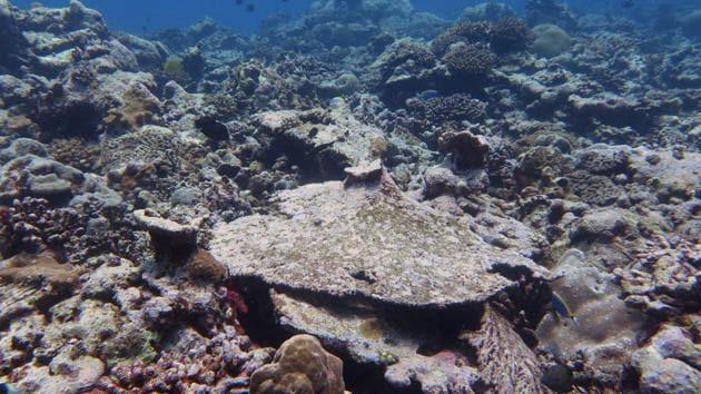 A crab hidden inside its home in the Lakshadweep corals.(Shreya yadav/HT Photo)