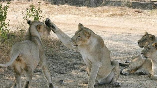 The Gujarat high court on Wednesday asked the state government to take expert help to protect the Asiatic lions, saying it will monitor the progress on measures taken by the government for safety and conservation of the big cats in the Gir National Park and Sanctuary.(AFP File Photo)
