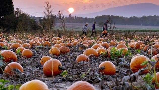 <p>People collect pumpkins ahead of Halloween, on a field in the outskirts of Frankfurt, Germany, as the sun sets.</p> (Michael Probst / AP)